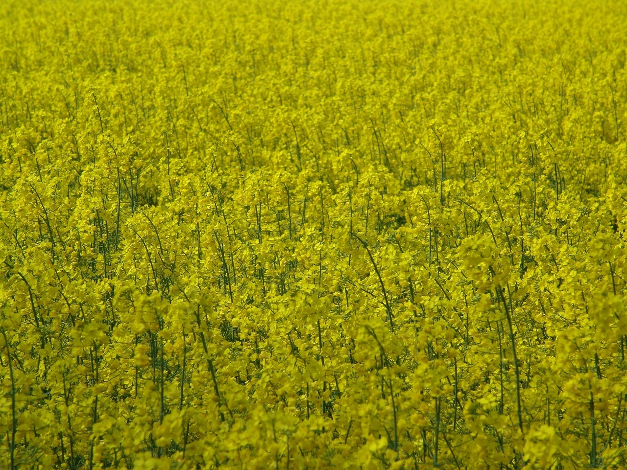oilseed rape yellow fields free photo