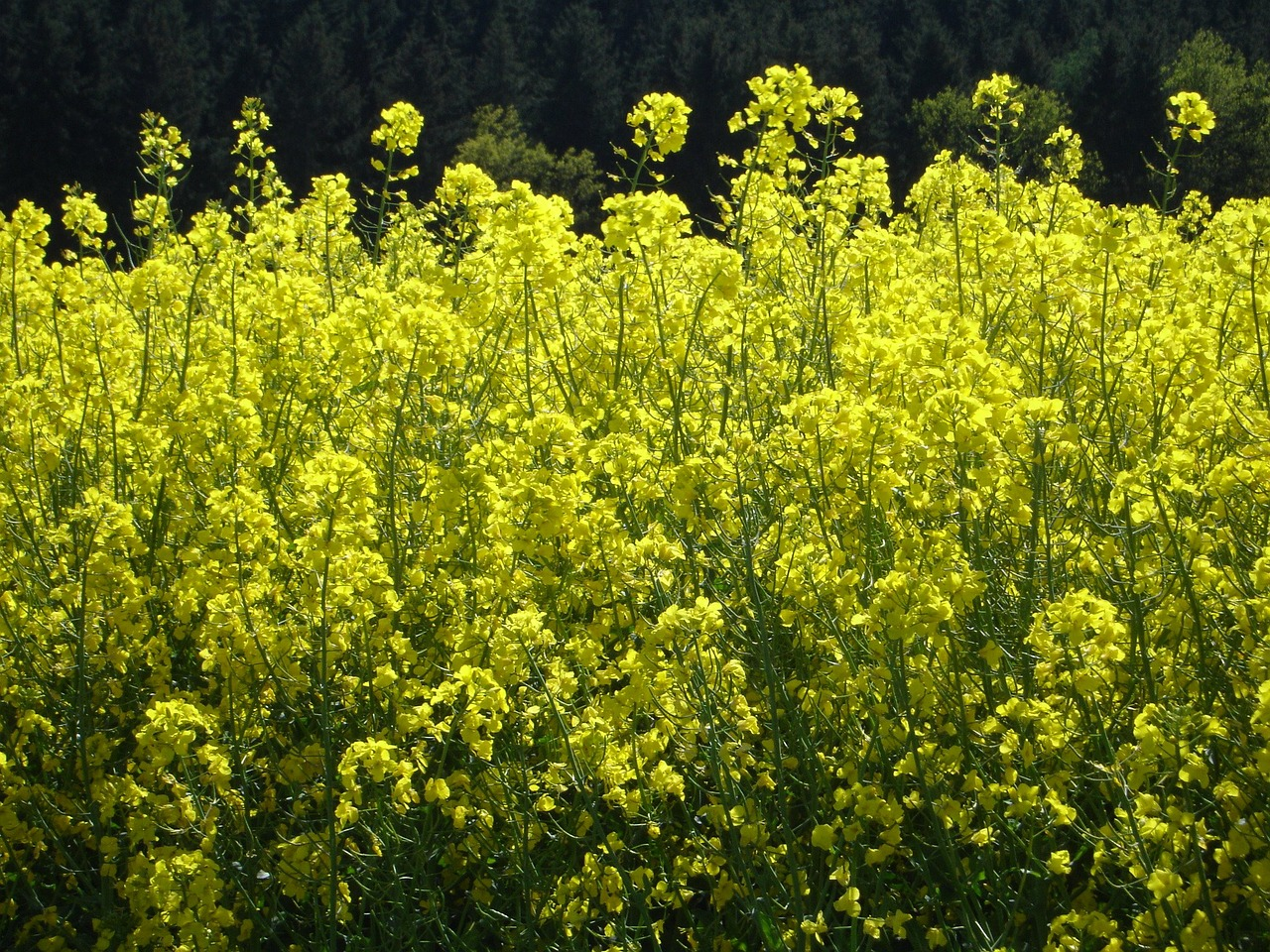 oilseed rape field of rapeseeds blossom free photo