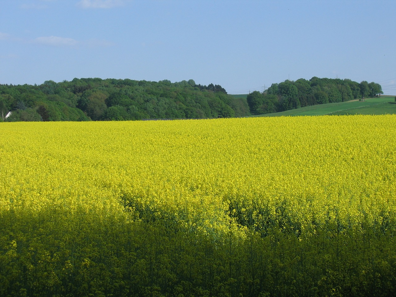 oilseed rape field nature free photo