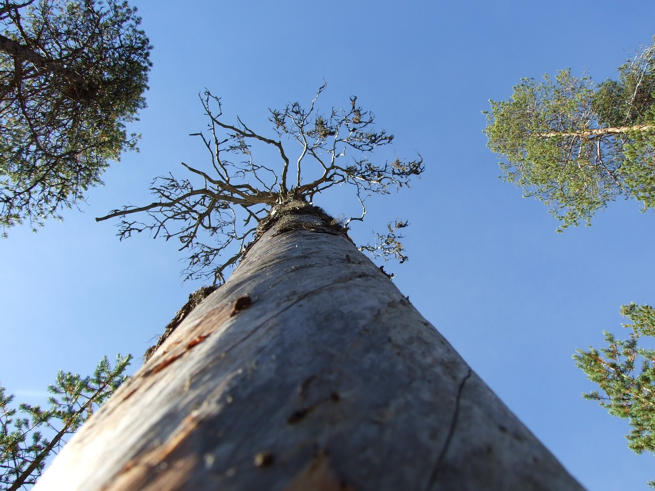 old pine tree tree thread free photo