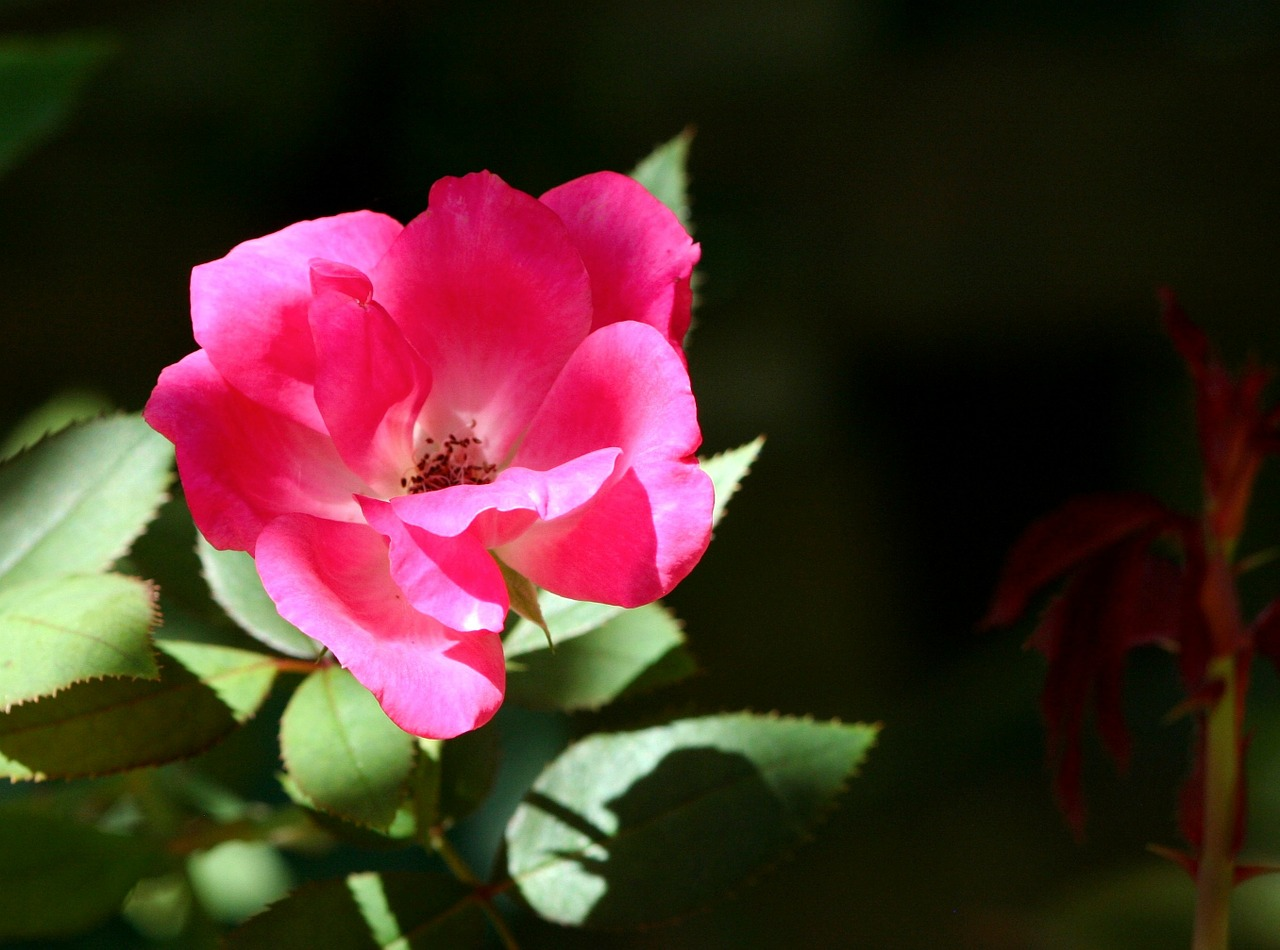 old time rose flower pink free photo