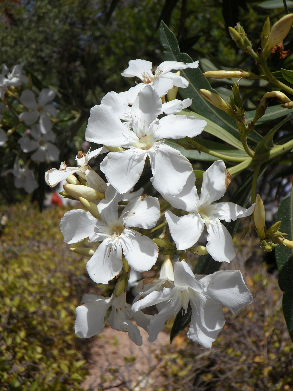 oleander white flower blossom free photo