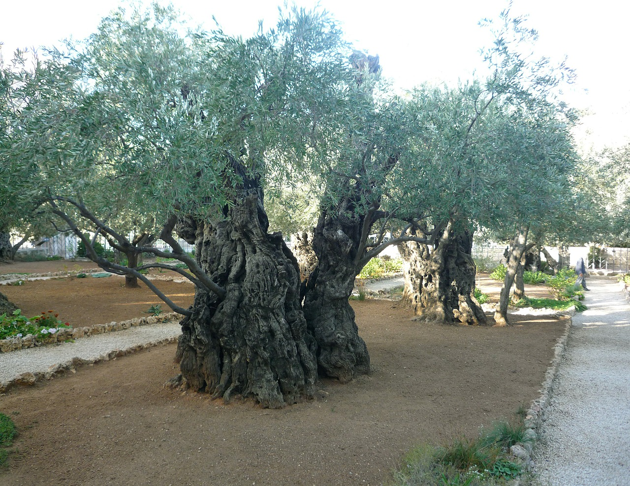 olive trees jerusalem israel free photo