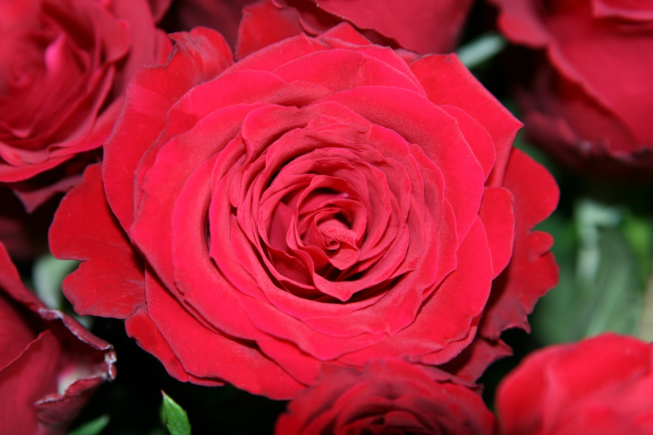 open rose red birthday free photo