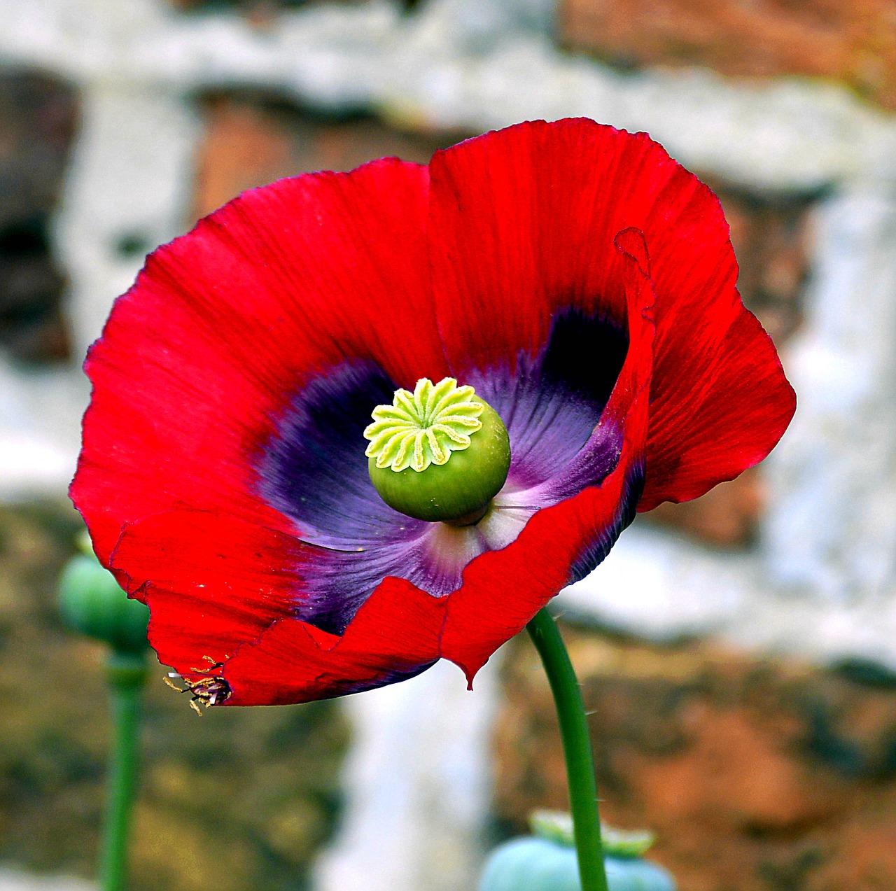 Opium Poppypoppypoppy Flowermohngewaechspoppy Capsule Free