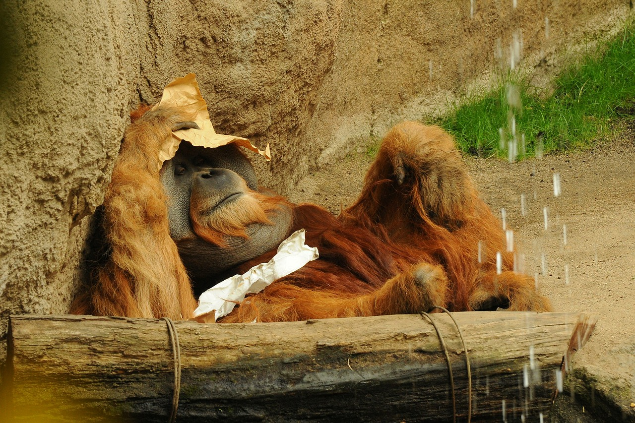 orang utan zoo animal free photo