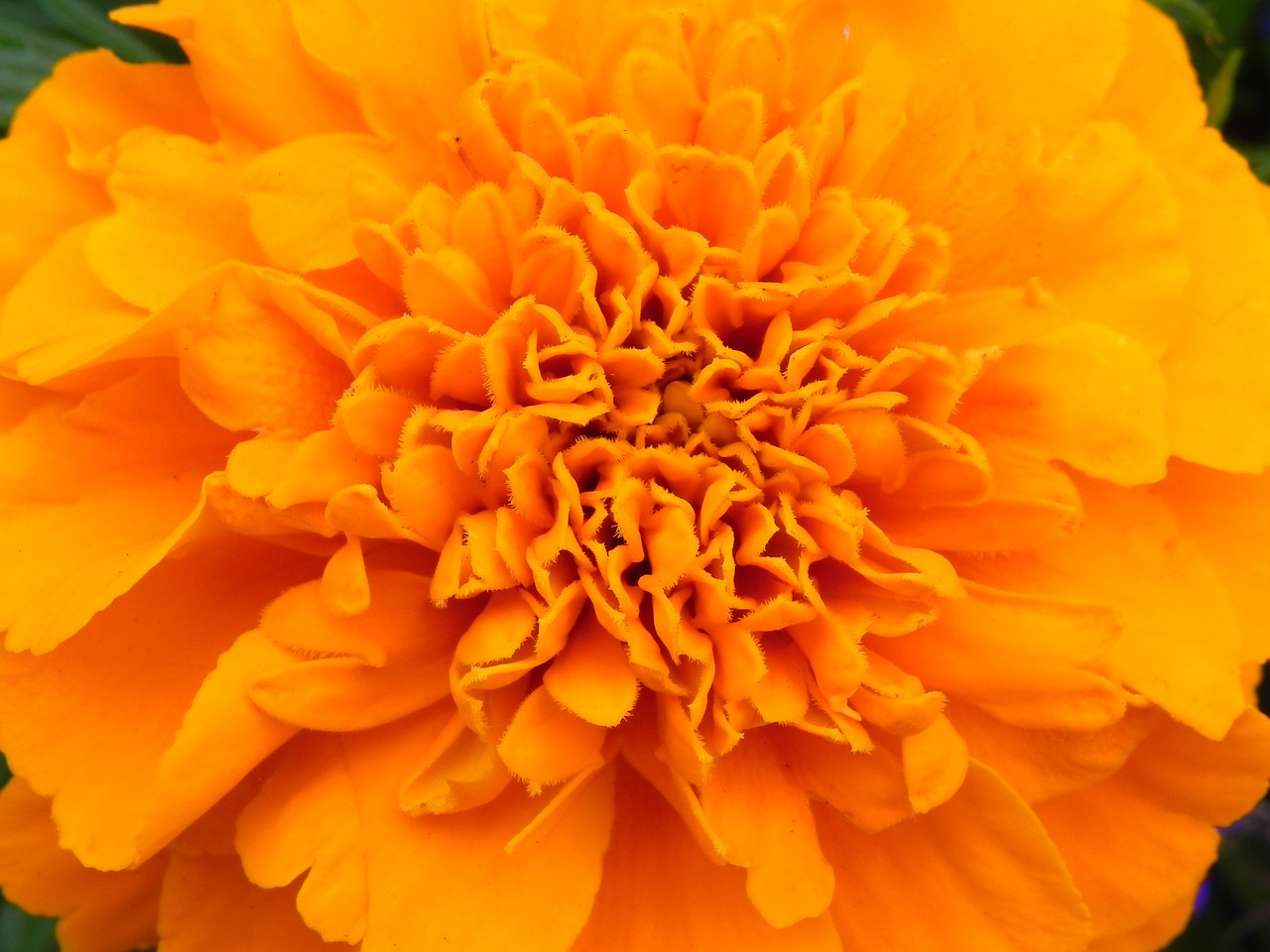 orange flower blossom free photo