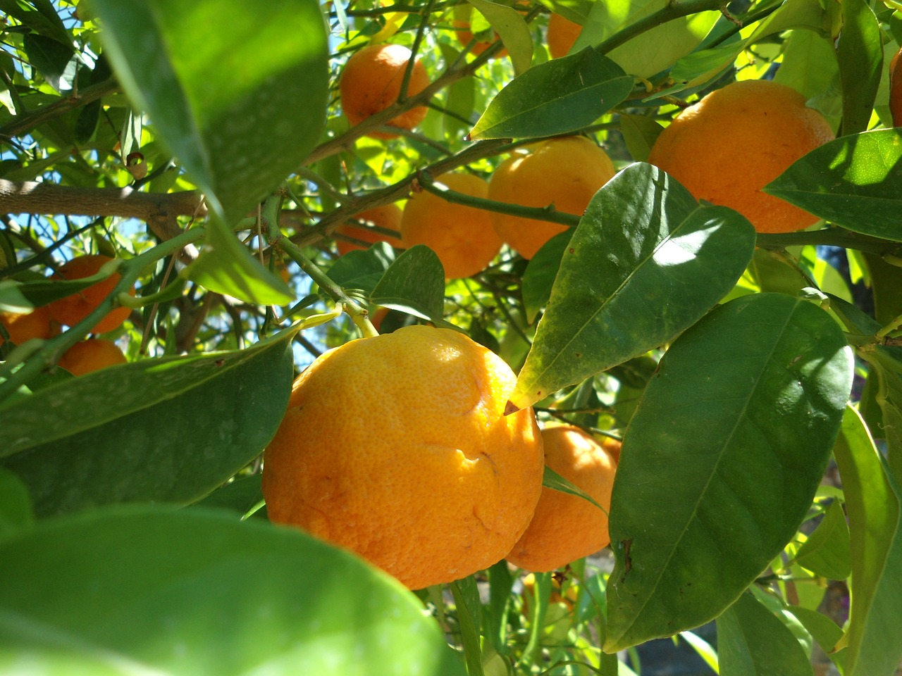 orange fruit frisch free picture