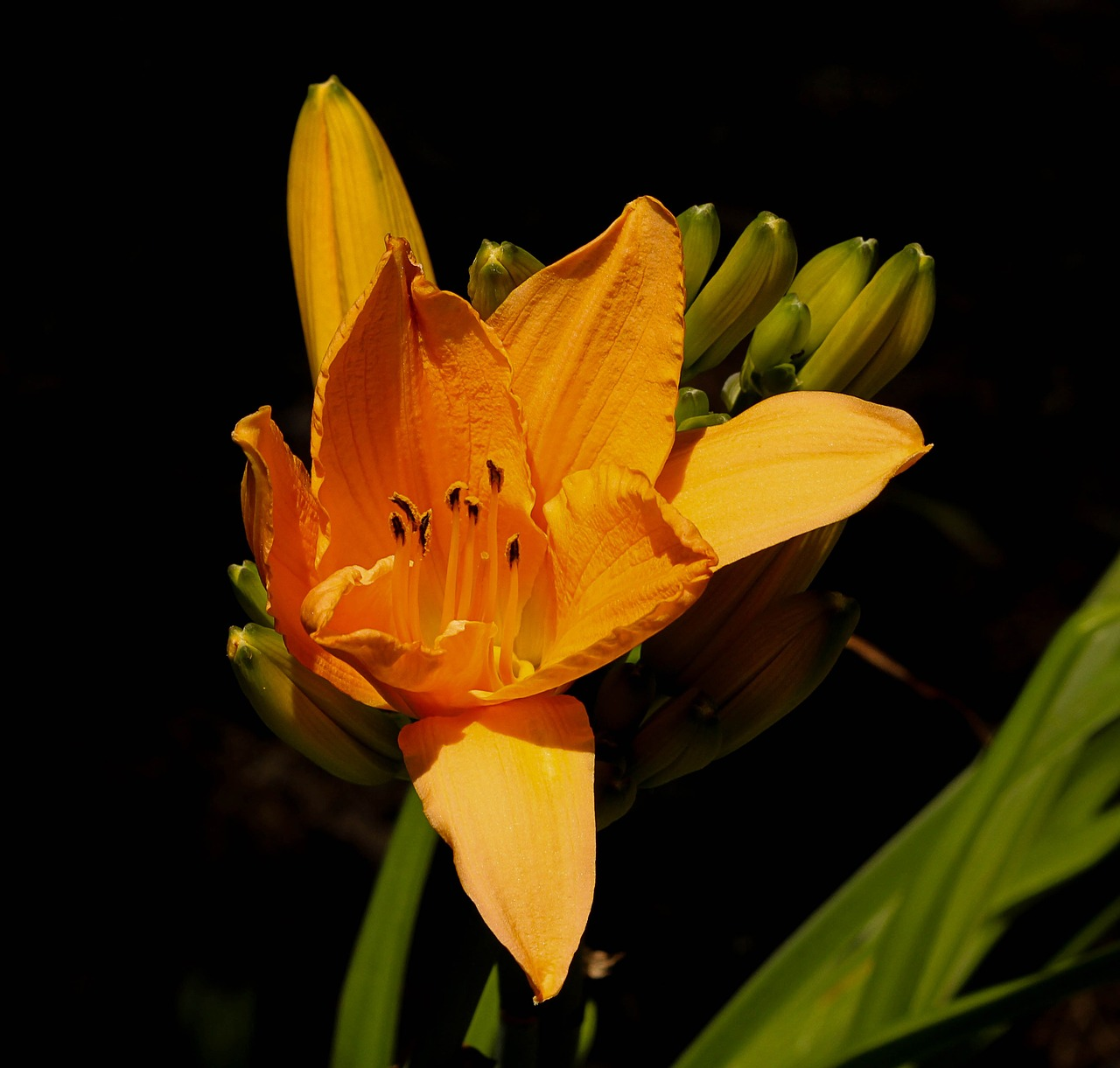 orange daylily perennial flower free photo