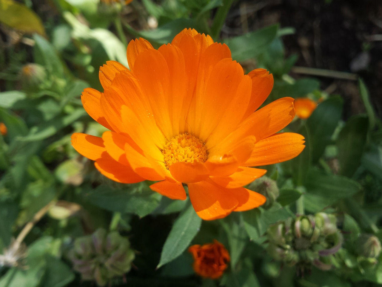 Orange Flowerpetals Orangeyellow Flowerdaisyflower Free Photo