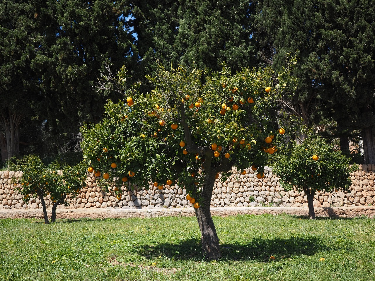 orange tree orange grove plantation free picture