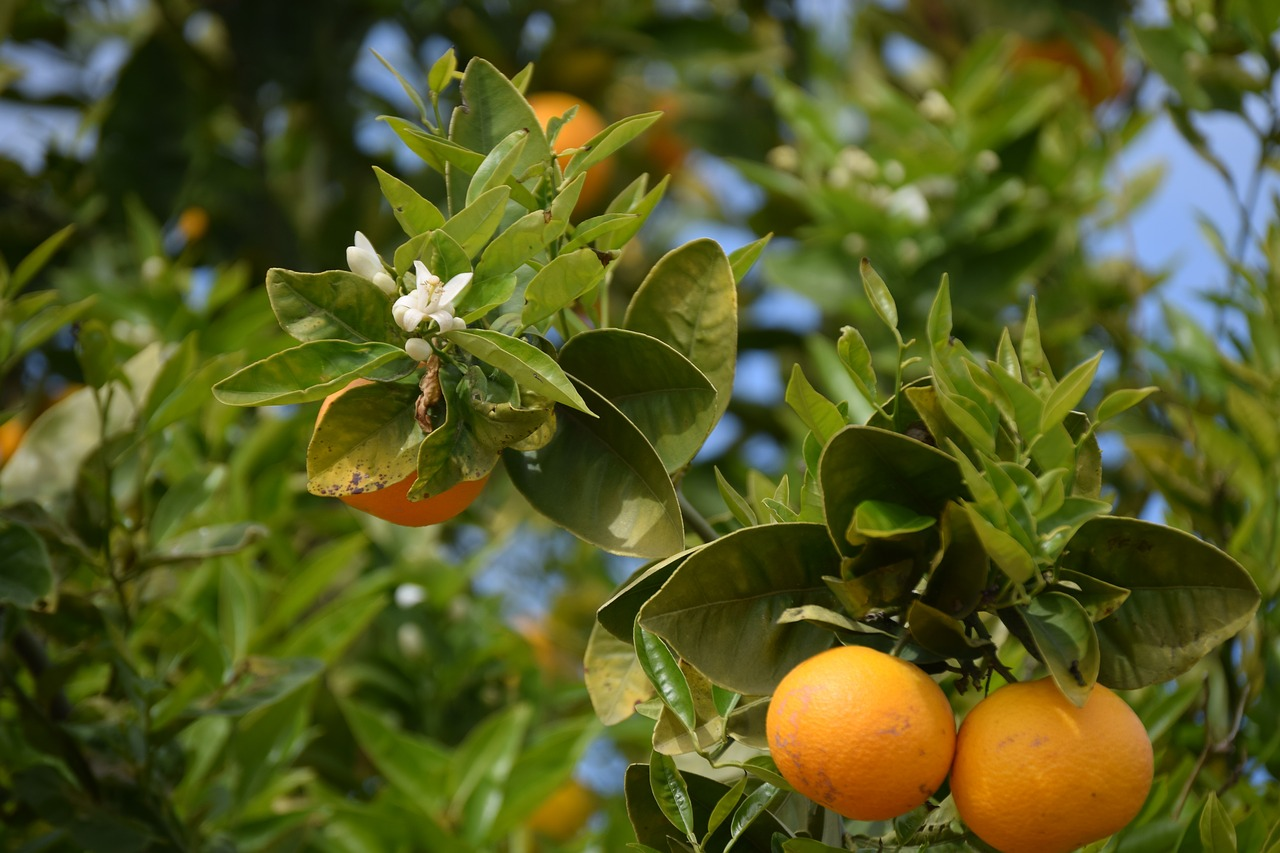 orange trees oranges orange blossom free picture