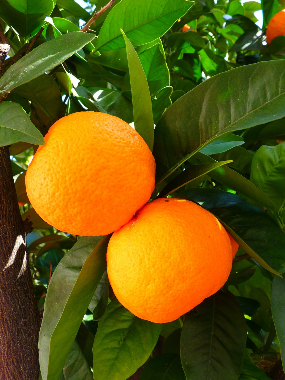 oranges tree leaves free photo