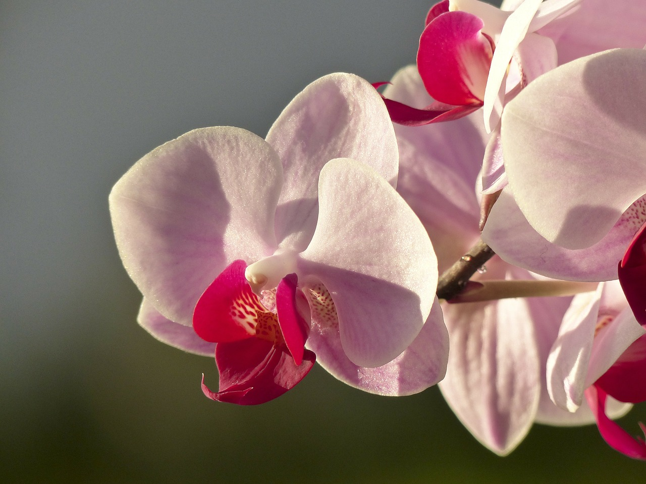orchid flower flora free photo
