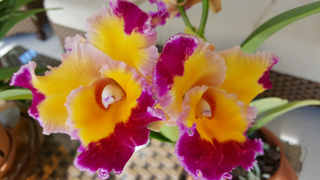 orchid dick smith cattelya free photo