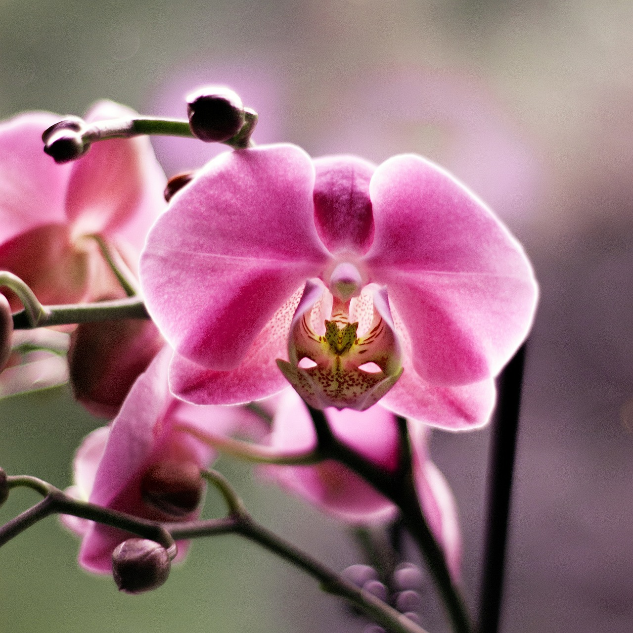 orchid flower beauty free photo