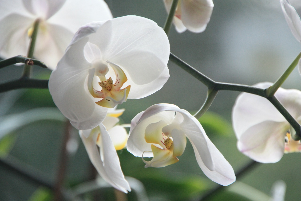 orchid flower blossom free photo