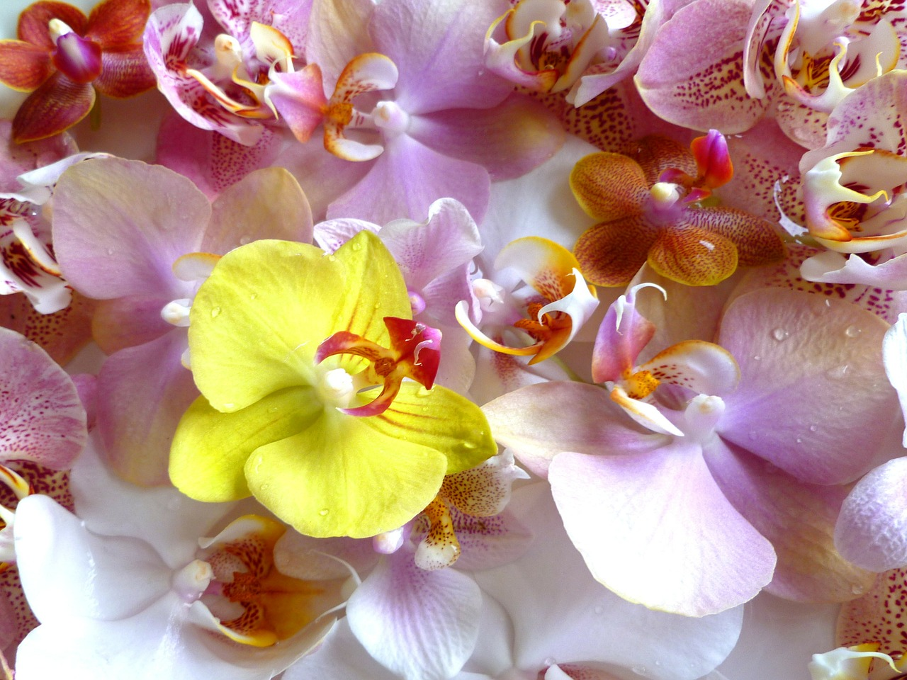 orchids phalaenopsis moth orchid free photo