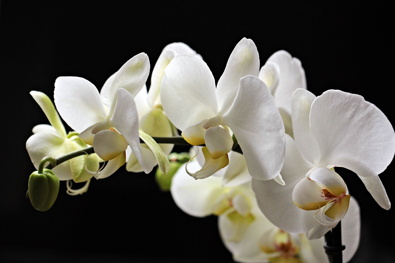 Orchidsflowersflowerplanthouseplants Free Photo From Needpix
