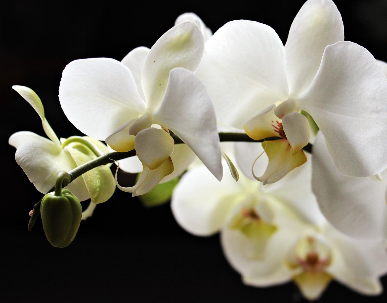 фото белой орхидеи на черном шелке расплатиться