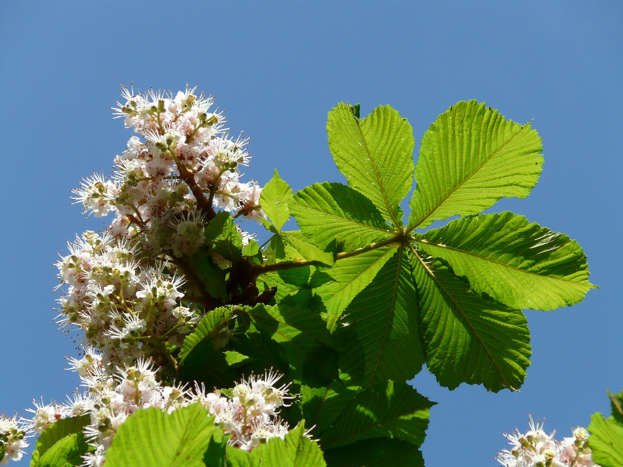 ordinary rosskastanie chestnut flowers free photo