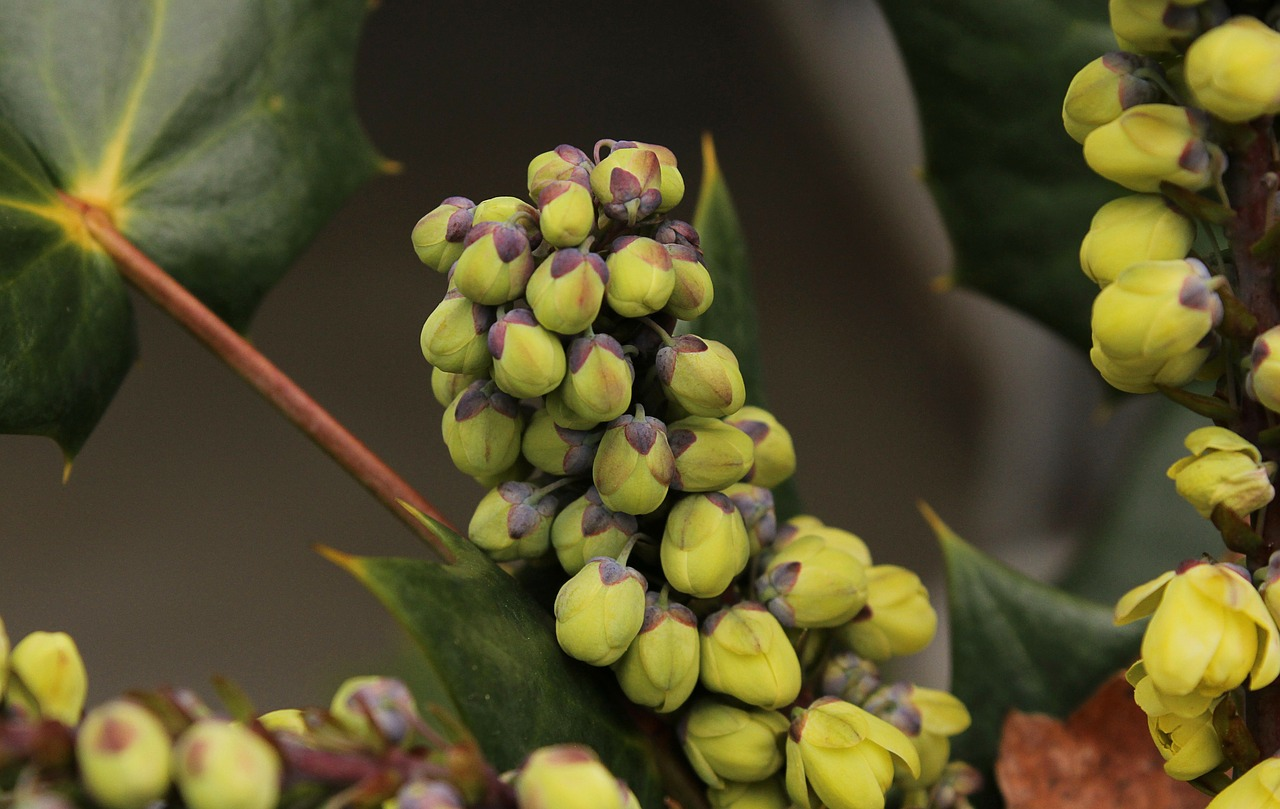 oregon grape holly flower buds winter flowers mahonia free photo