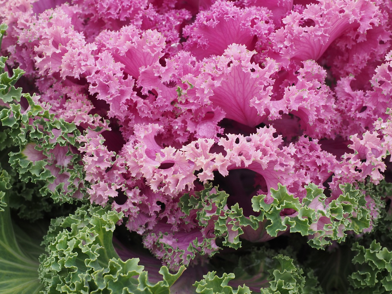 ornamental cabbage,leaves,kraus,fraktalähnlich,fractal,ornamental vegetables,ornamental plant,pink,brassica oleracea var,acephala,cabbage green,brassica oleracea,kohl,cabbage,vegetables,brassica,rosette,cabbage leaf,leaf,close,botany,plant,purple,violet,winter jewelry,krausblättrig,ornamental cabbage locations,ornamental cabbage chidori red,chidori red,free pictures, free photos, free images, royalty free, free illustrations