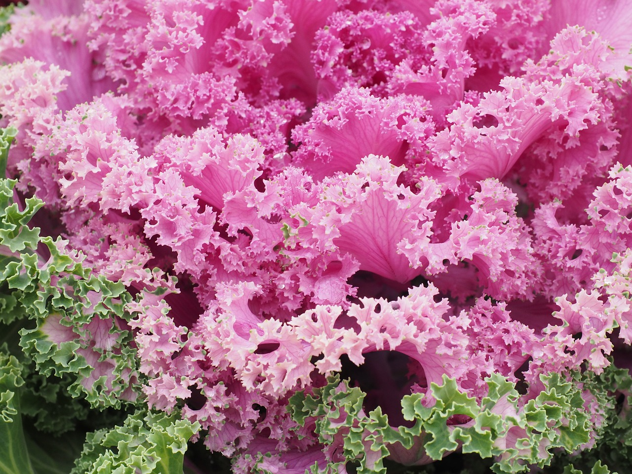 ornamental cabbage,leaves,detail,ruffled,kraus,fraktalähnlich,fractal,ornamental vegetables,ornamental plant,pink,brassica oleracea var,acephala,cabbage green,brassica oleracea,kohl,cabbage,vegetables,brassica,rosette,cabbage leaf,leaf,close,botany,plant,purple,violet,winter jewelry,krausblättrig,ornamental cabbage locations,ornamental cabbage chidori red,chidori red,free pictures, free photos, free images, royalty free, free illustrations