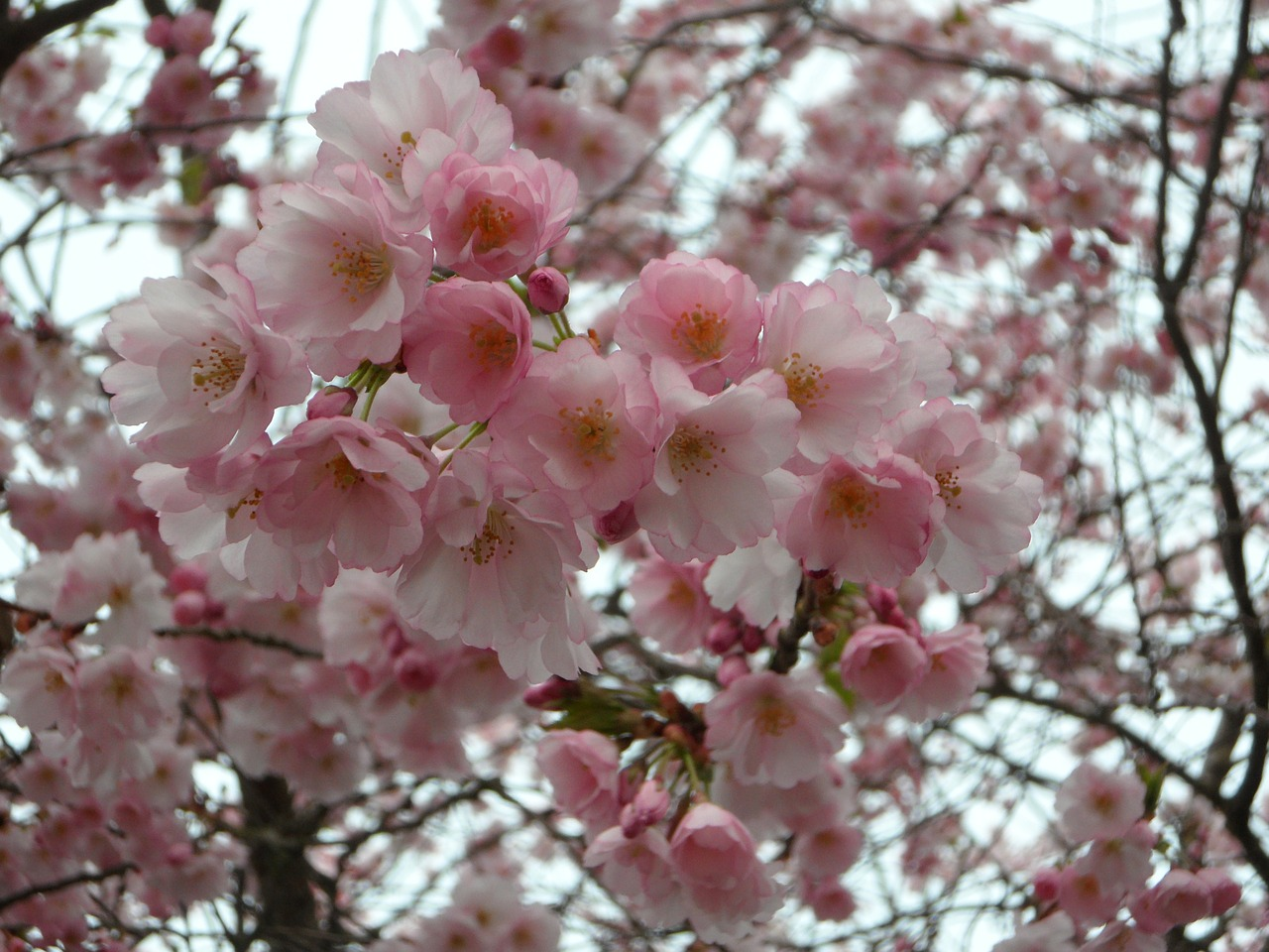 ornamental cherry cherry blossom japanese cherry trees free photo