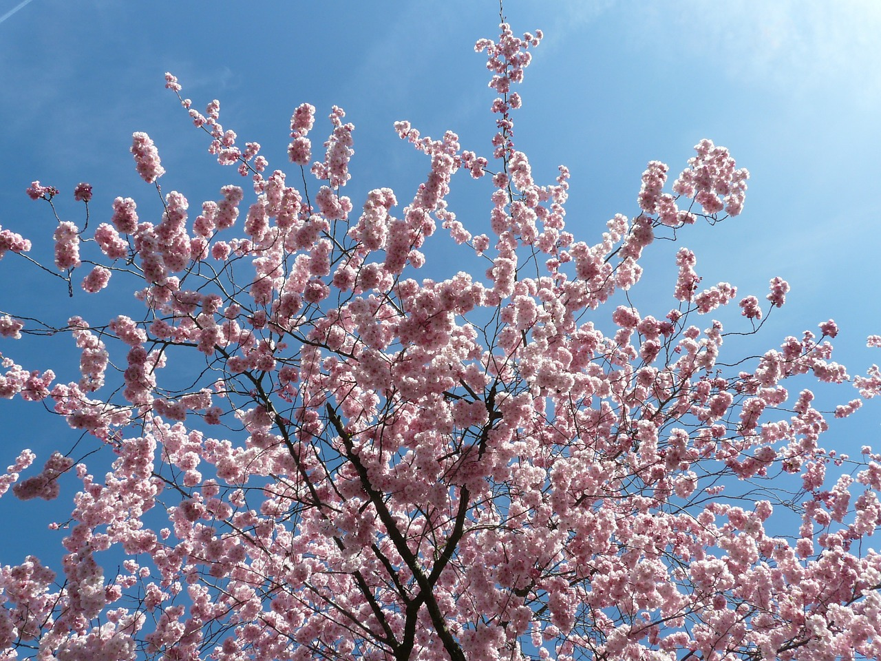 ornamental cherry flowers pink free photo