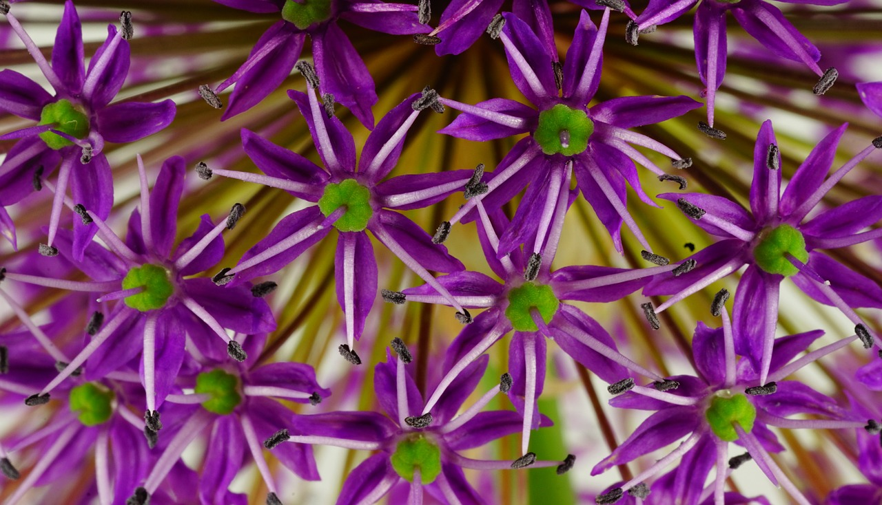ornamental onion flower flowers free photo