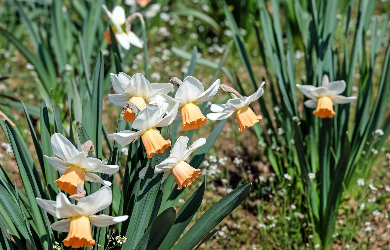 Osterglockenflowerflowersbrightspring Free Photo From Needpix
