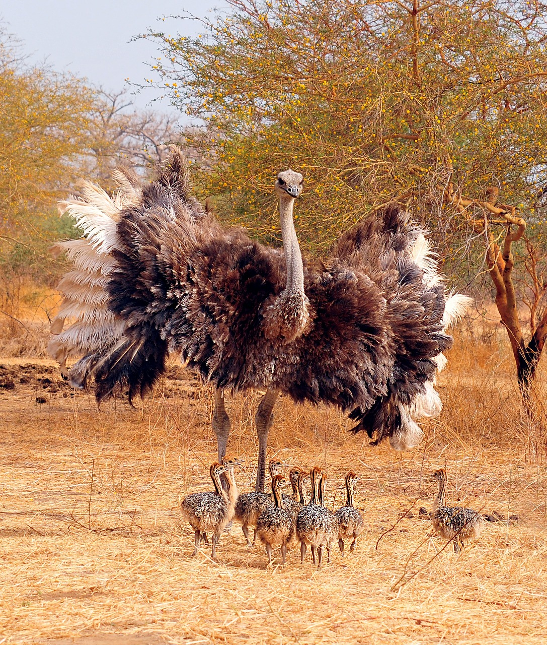 ostrich bird clutch free photo