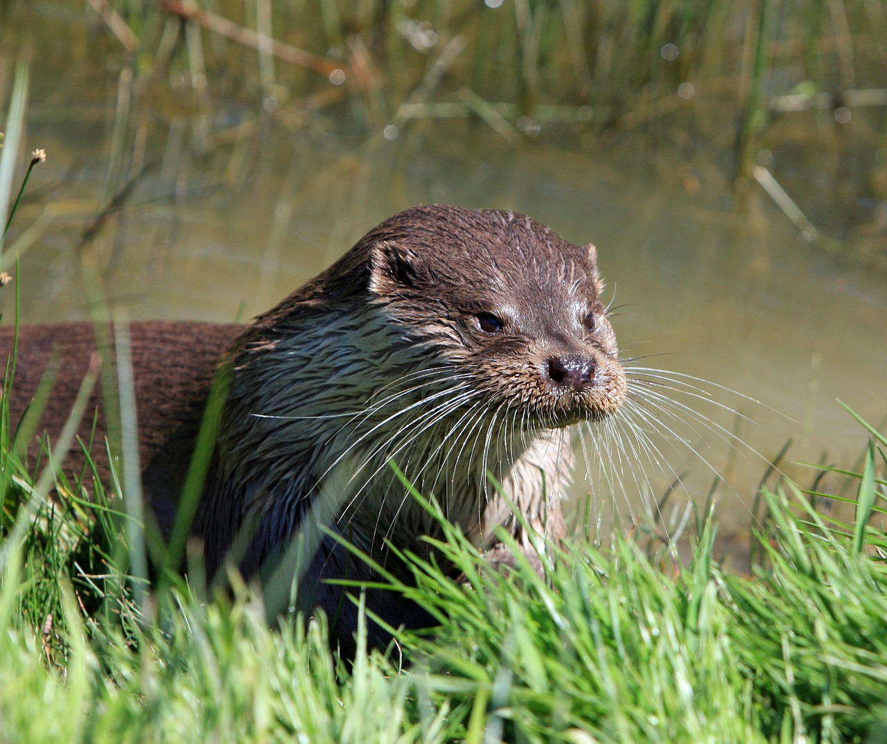 otter animal close-up free photo