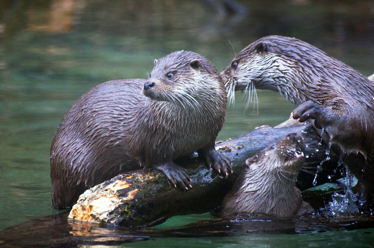 otter animals nature free photo