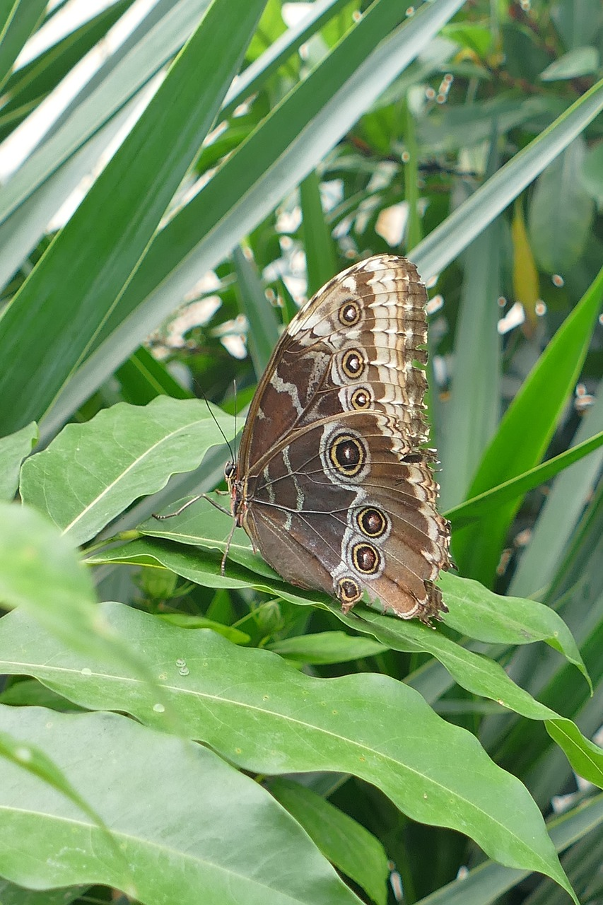 owl butterfly butterfly waltz free photo