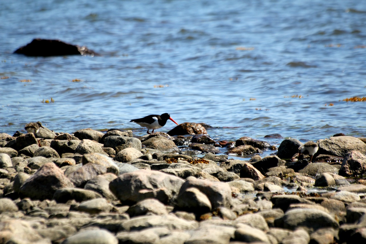oystercatcher bird haematopus ostralegus free photo