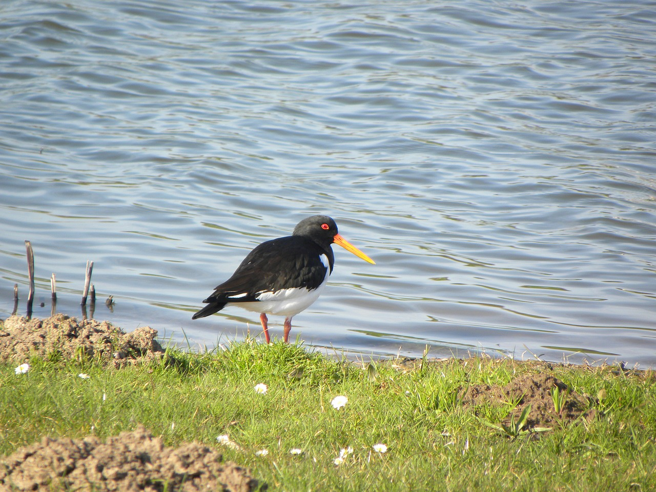 oystercatcher bird stilt-walker free photo