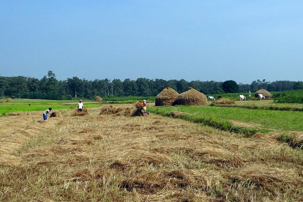paddy harvest rice free photo