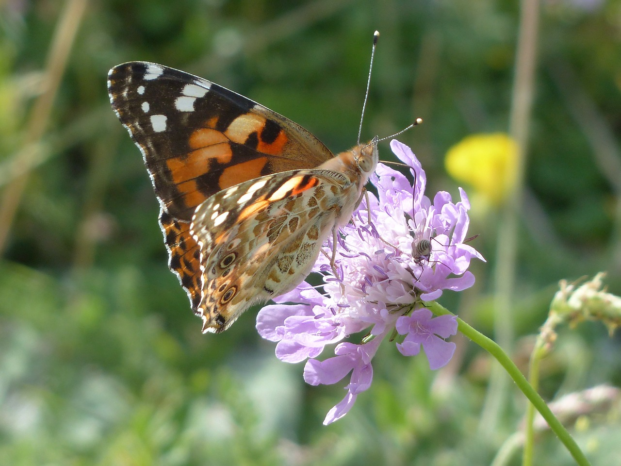 painted lady butterfly vanessa cardui free photo