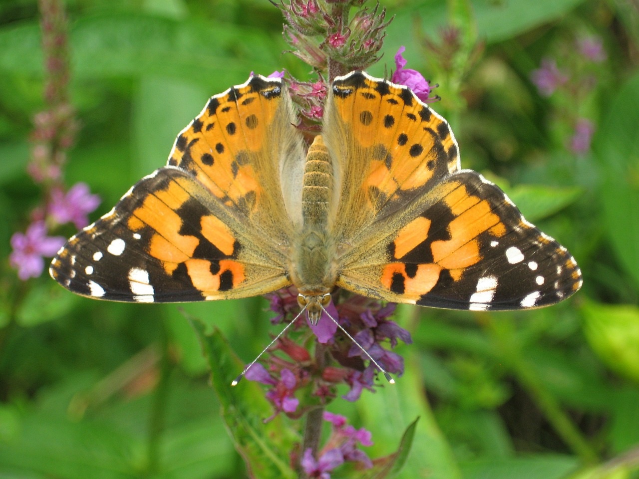 Virtually Experience a Painted Lady Butterfly Life Cycle