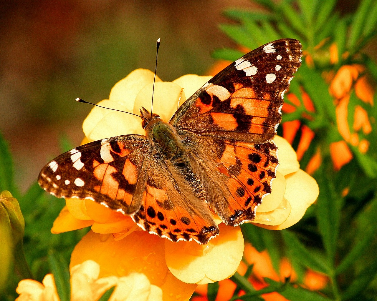 painted lady butterfly vanessa cardui insect free photo