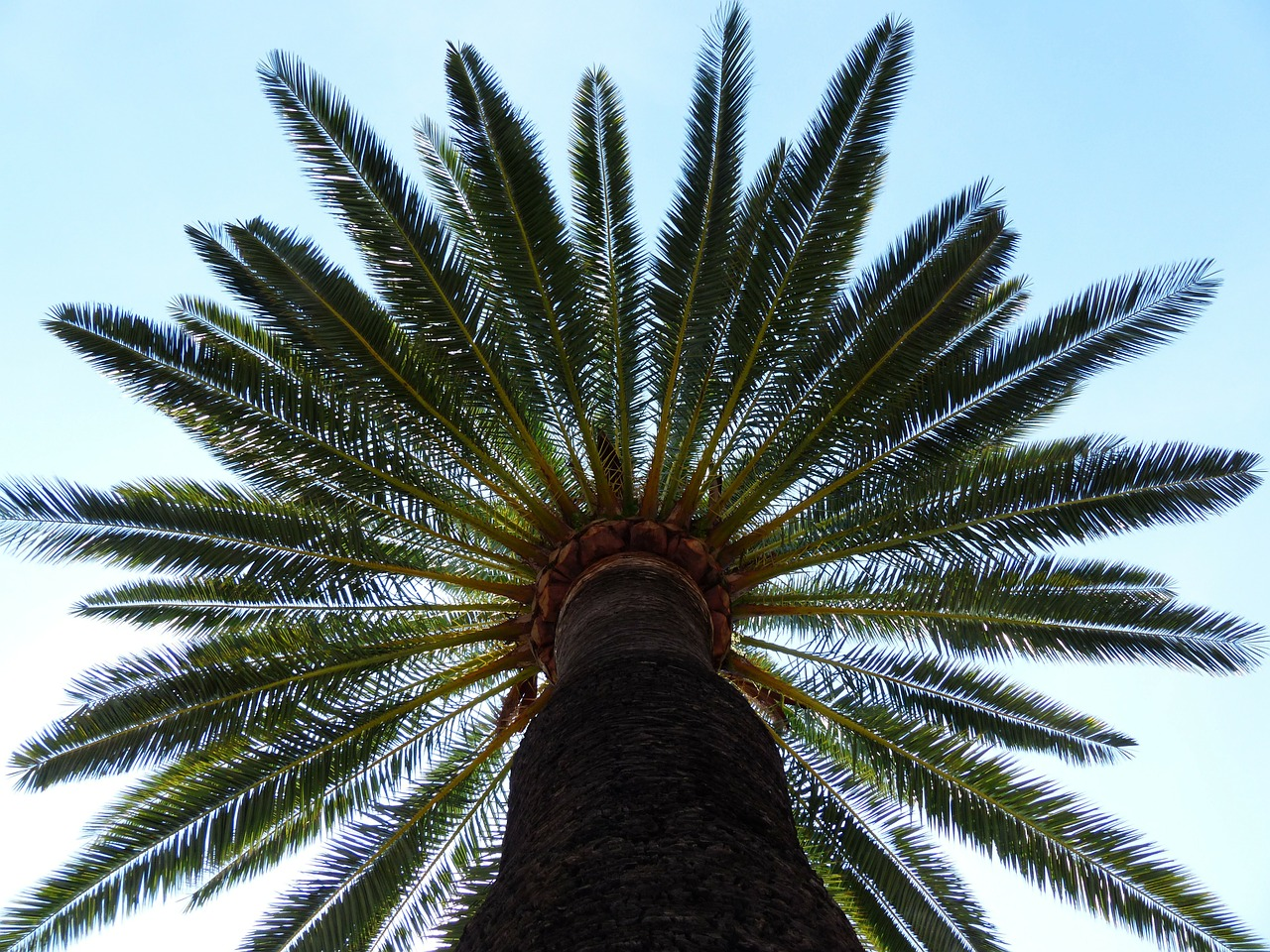 palm tree date palm free photo