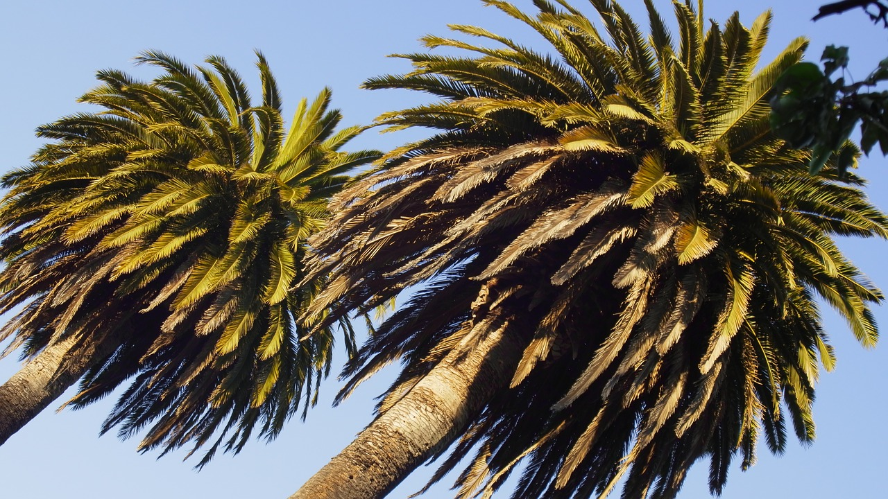 palm trees trees sky tropical palm tree free photo from