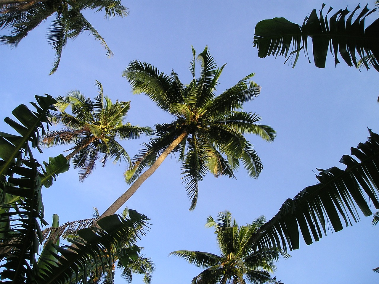 palm trees samoa exotic free photo