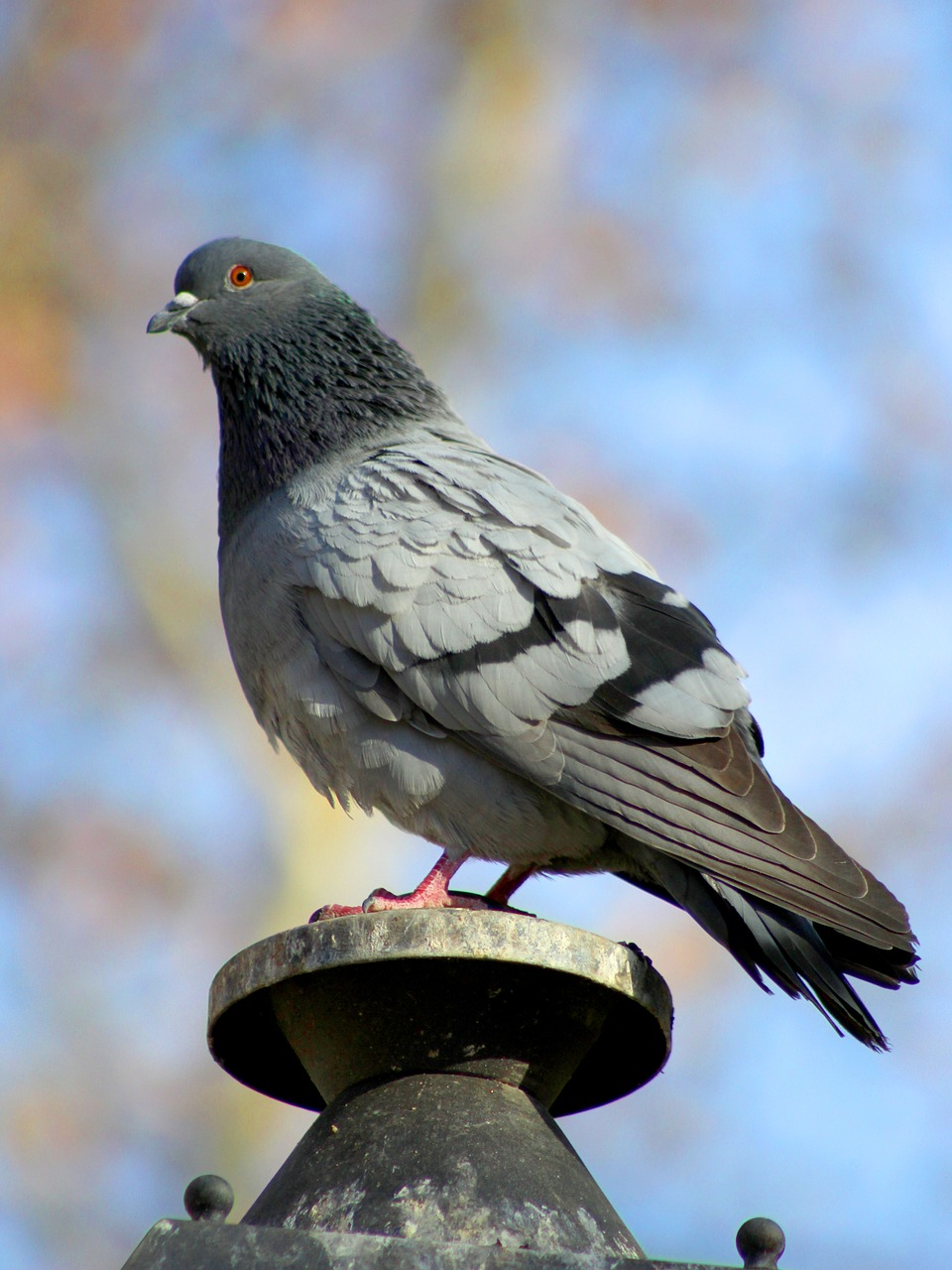 paloma,park,ave,plaza,street lamp,lamp,lighting,lanterns,urban square,post,diseases,urban,urban wildlife,fauna,feathers,dove common,vertical,bokeh,depth of field,blur,peak,columba livia,domestic pigeon,zoo,free pictures, free photos, free images, royalty free, free illustrations
