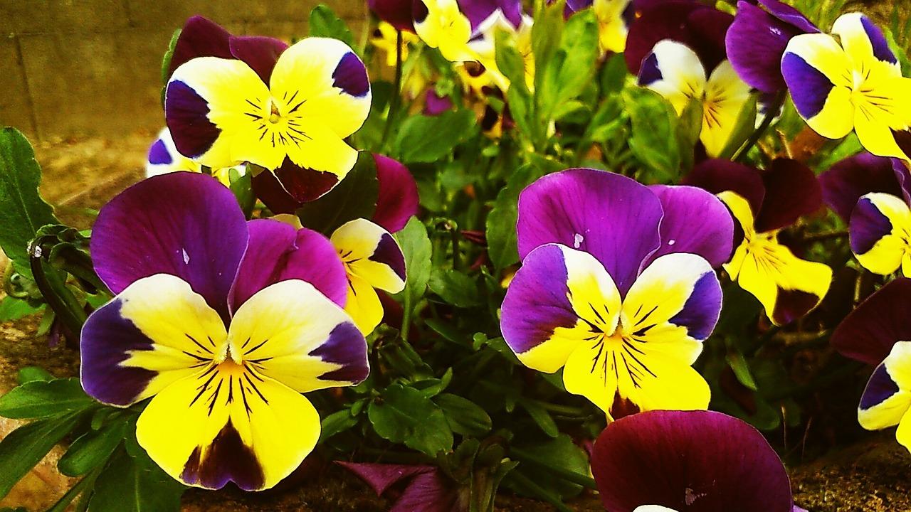 Pansyflowerspring Flowergardenpurple And Yellow Pansy Free