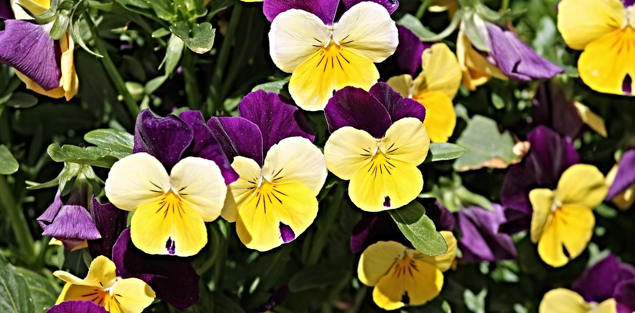 Pansyflower Gardenflowerspinkwhite Free Photo From Needpix