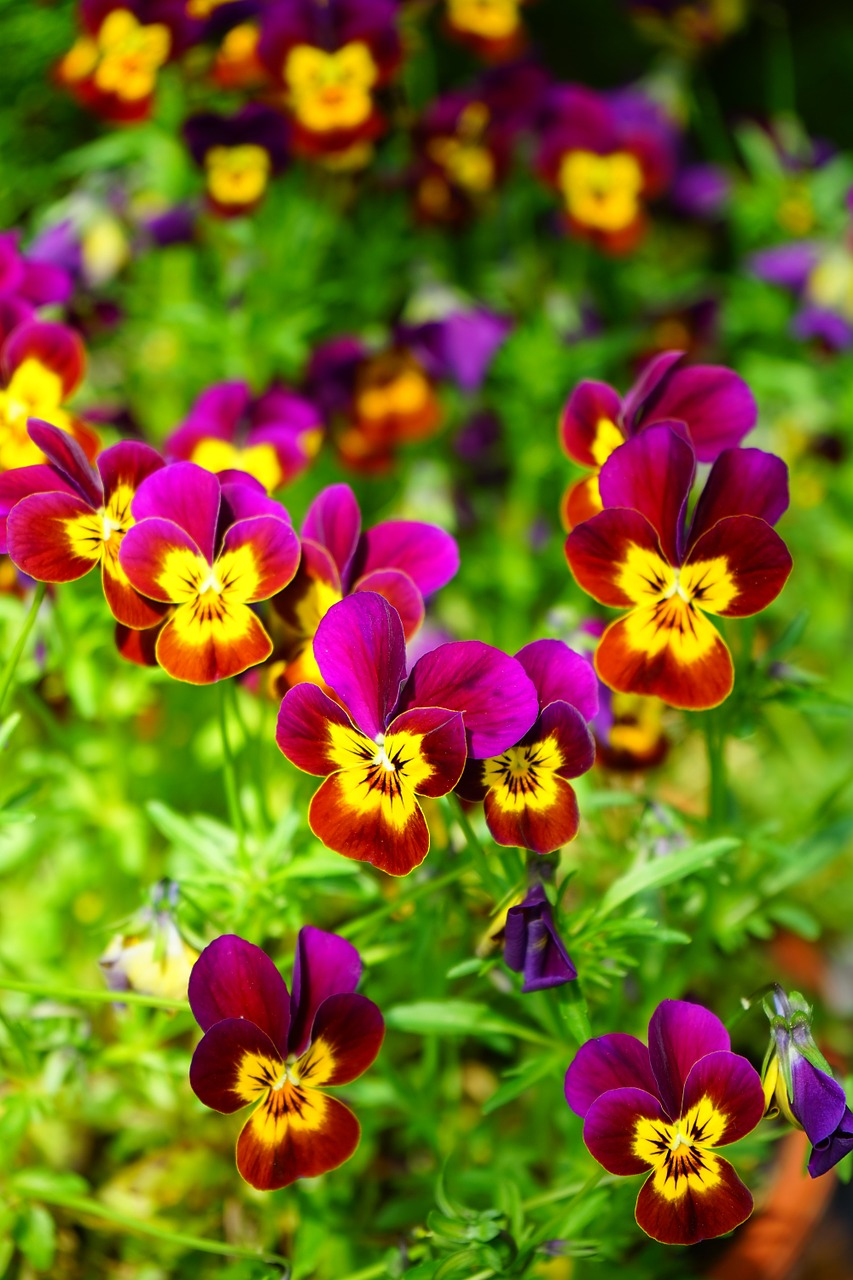 pansy flower blossom free photo