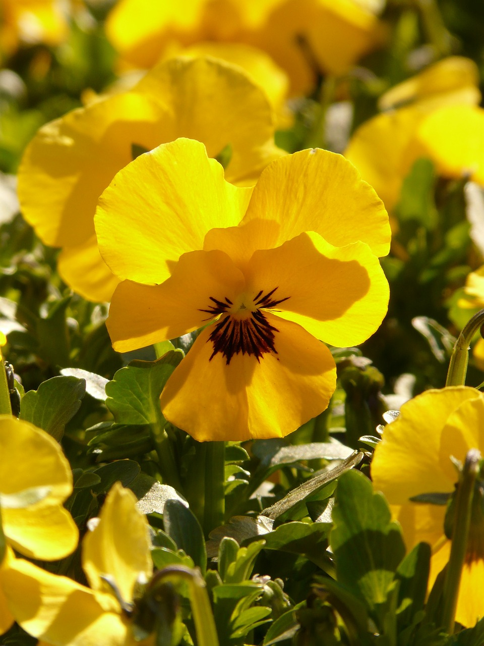 pansy violet yellow free photo